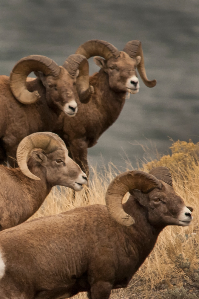 Meeting Photographers and Photographing Bighorn Sheep.  (4/4)