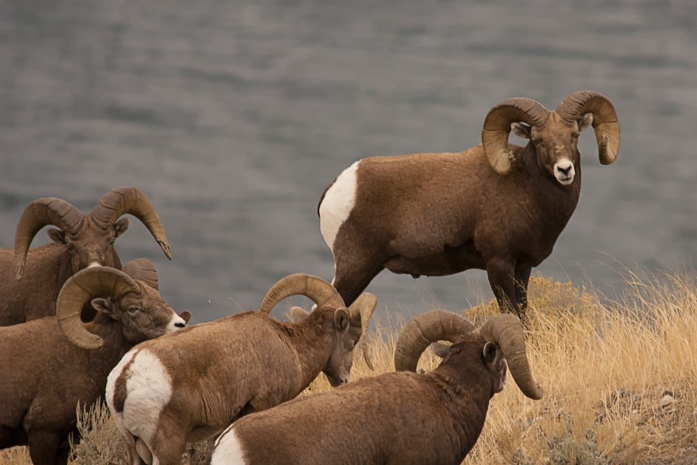 Meeting Photographers and Photographing Bighorn Sheep.  (3/4)