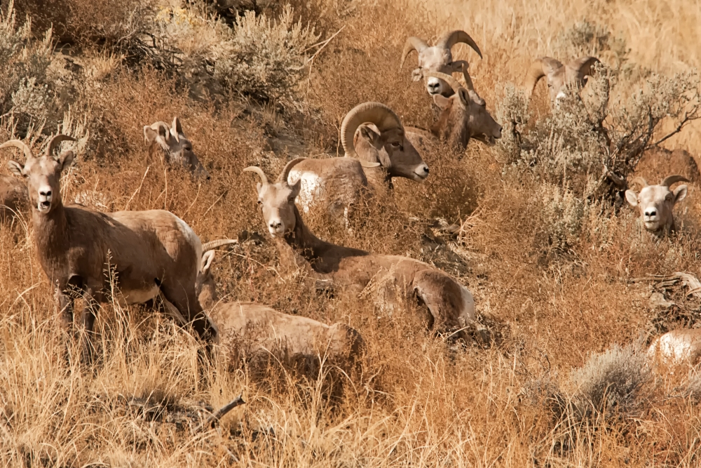Meeting Photographers and Photographing Bighorn Sheep.  (2/4)