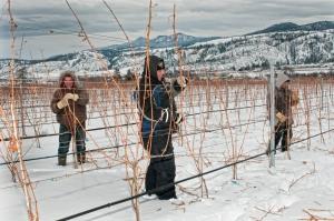 Vineyard pruning