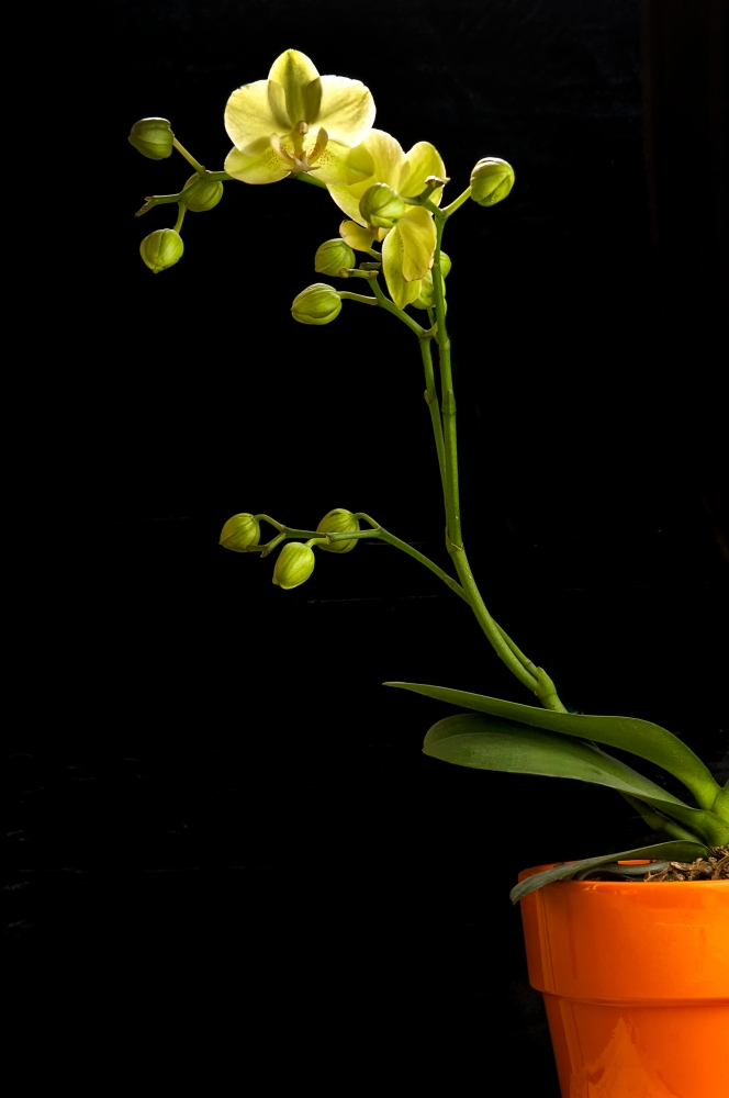 Photographing an Orchid in the Bathtub.        (1/2)