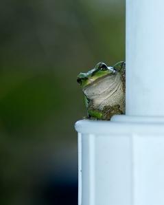 back lite Frog
