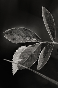 Wet leaves in black and white