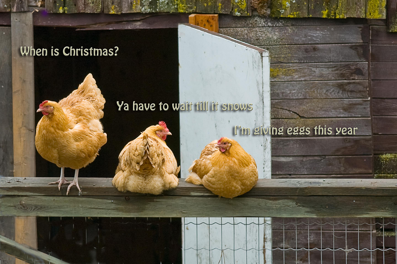Greeting cards enmanscameras blog kamloops xmas chickens kristyandbryce Gallery