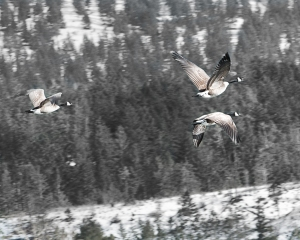 Noisey Geese 4