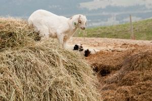 Wet goat 1