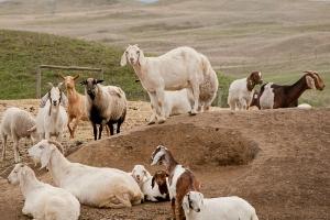 wet goats 2