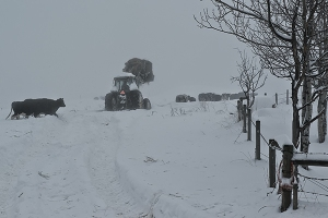 Moving cows in fog 2