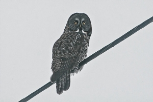 Owl on wire 2