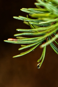 Wet fir tree