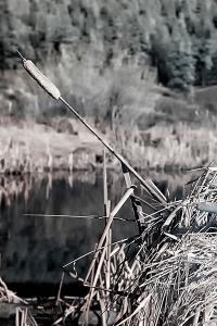 Pond Cattail