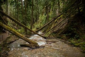 Fallen Cedars
