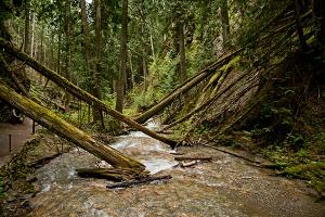 Fallen Cedars by John