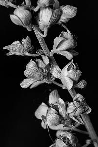 Salvia 1
