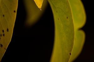 Yellow leaf 4