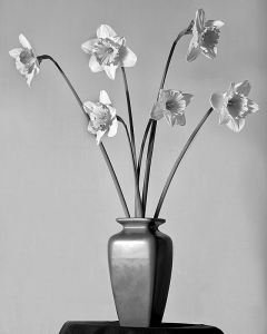 Daffodil BW