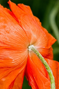 Oriental Poppy in wind