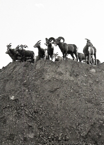 big-horn-sheep-hill