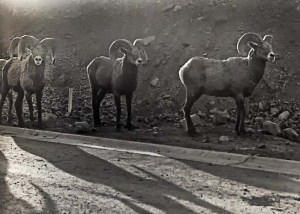 kamloops-bighorn-sheep