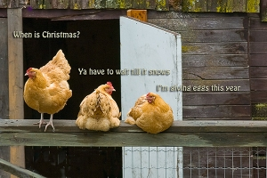 xmas-chickens